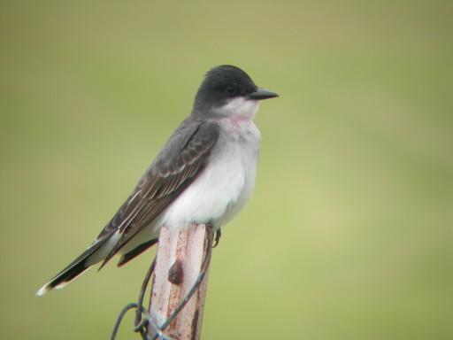 Eastern Kingbird.  Over 500 were seen this week in the Dunes State Park.