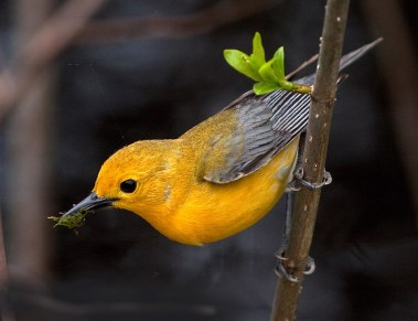 Prothonotary Warbler hanging out at Wilson Boardwalk this week.  Photo courtesy Pete Grube.