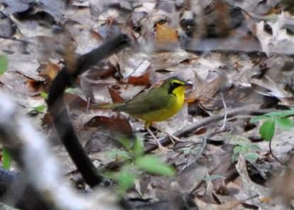 Kentucky Warbler on Trail 2.  5/9/14.