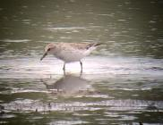 White-rumped Sandpiper at McCool Basin this week.
